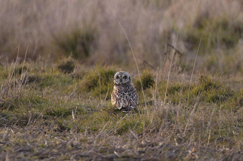 9417 Short-eared Owl on ground