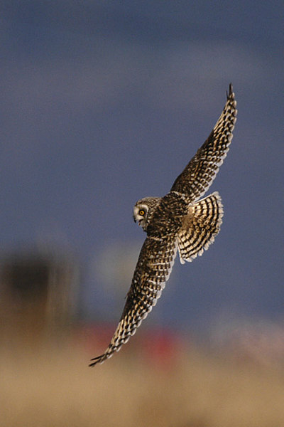 9308 Short-eared Owl high speed banked turn