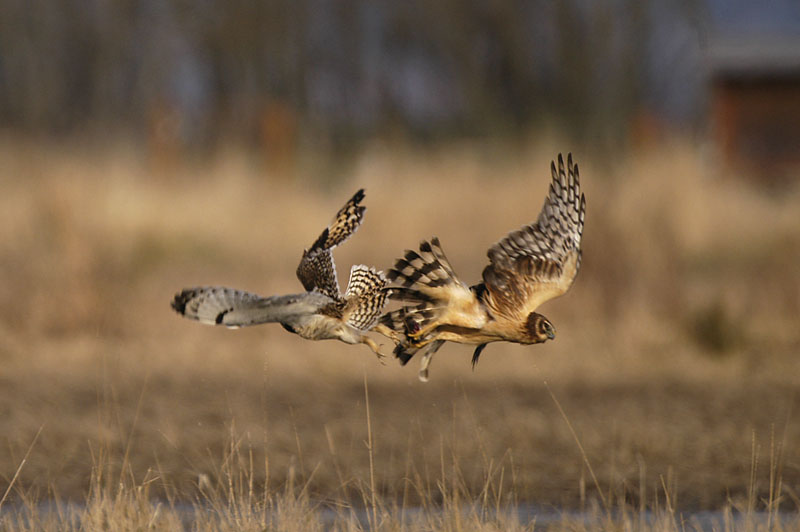 9310 Short-eared Owl and Harrier dog-fight