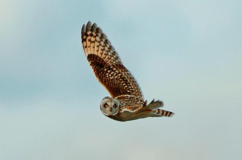 8957 Short-eared owl flying