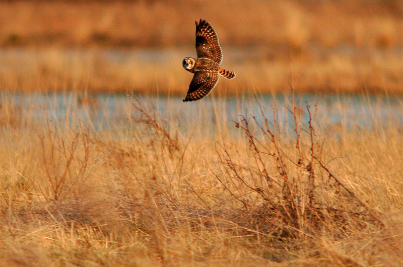 9095 Short-eared Owl flying over marsh