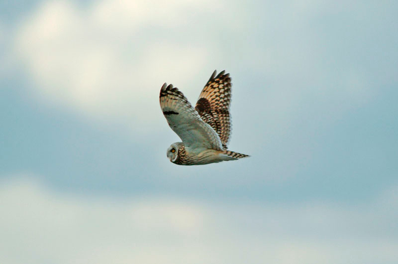8962 Short-eared owl flying