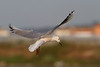 Gaviota picofina (Larus genei) Slender-billed gull