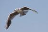 Slender billed-Gaviota picofina (Larus genei)