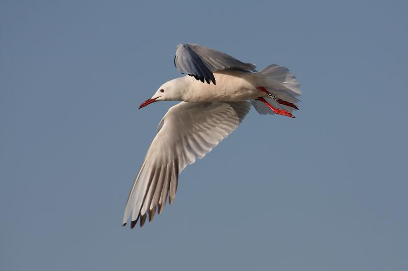 Slender billed Gull (Larus genei)