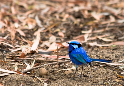 """Splendid Fairy-Wren"" Male bird captured here is native to Australia and gets its unique blue plumage at spring time only #93010703  © Payam Nashery - Photoarts"