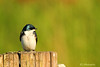 """Tree Swallow"""