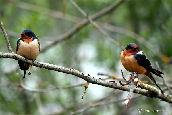 """Barn Swallow Chat"""