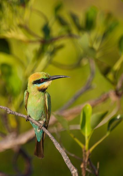 Bee Eater in the mangroves