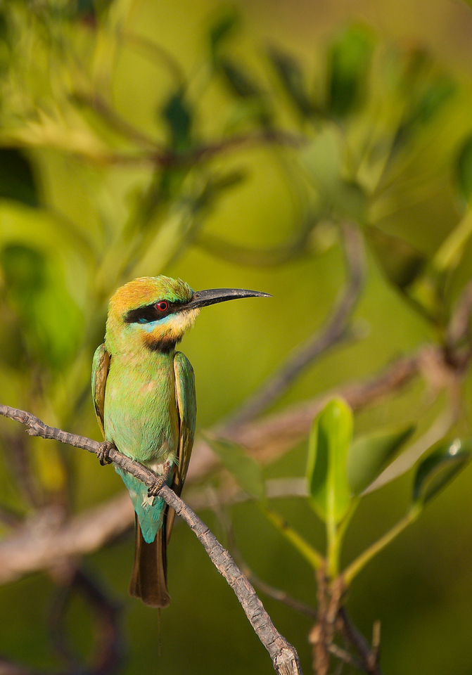 Bee Eater in the mangroves