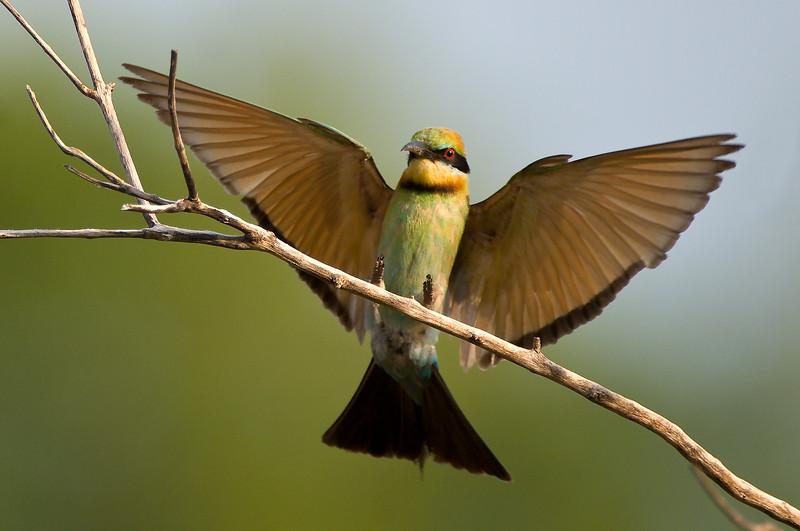 Bee Eater landing on branch
