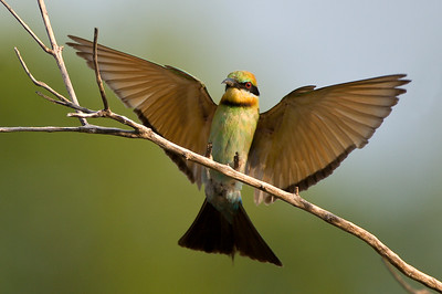Bee Eater landing on branch