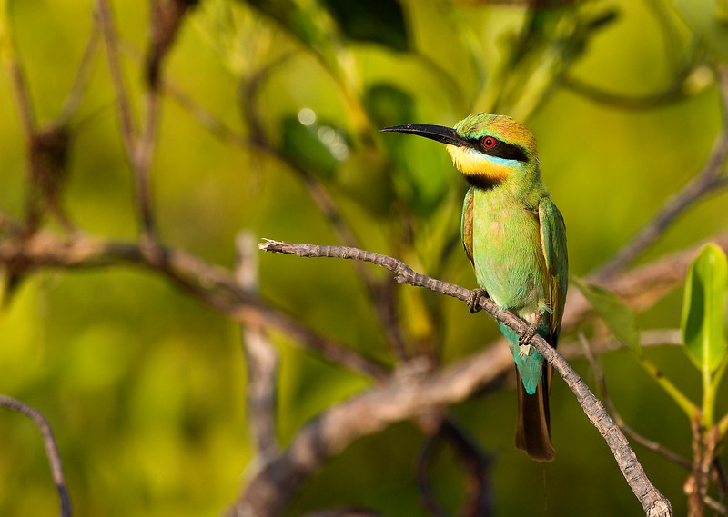 Morning Bee Eater