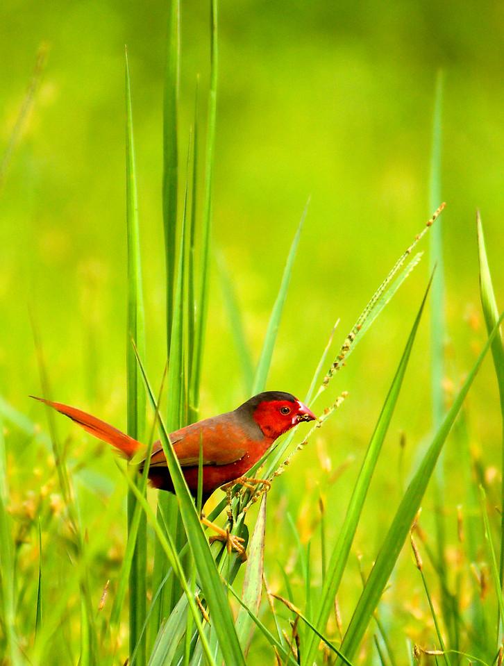 Fire Finch - Jabiru NT Australia