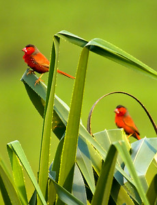 Crimson Finches in the Pandanus