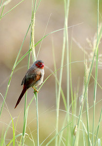 Crimson Finch in the Grass