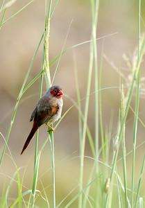Crimson Finch in the Grass