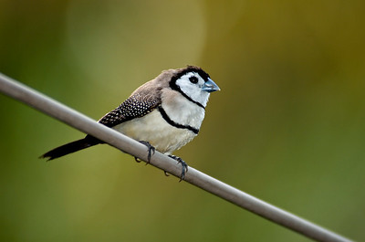 Double Barred Finch on a wire