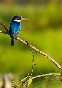 Forest Kingfisher - Fogg Dam NT