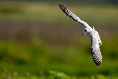 Whiskered Tern at McMinns Lagoon