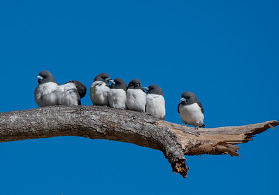 White-breasted Woodswallows at Lee Point Darwin