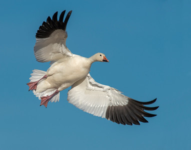 Snow Goose, Bosque Del Apache National Wildlife Refuge, NM