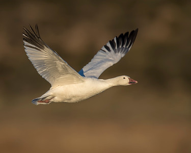 Snow Goose, Bosque Del Apache National Wildlife Refuge, NM