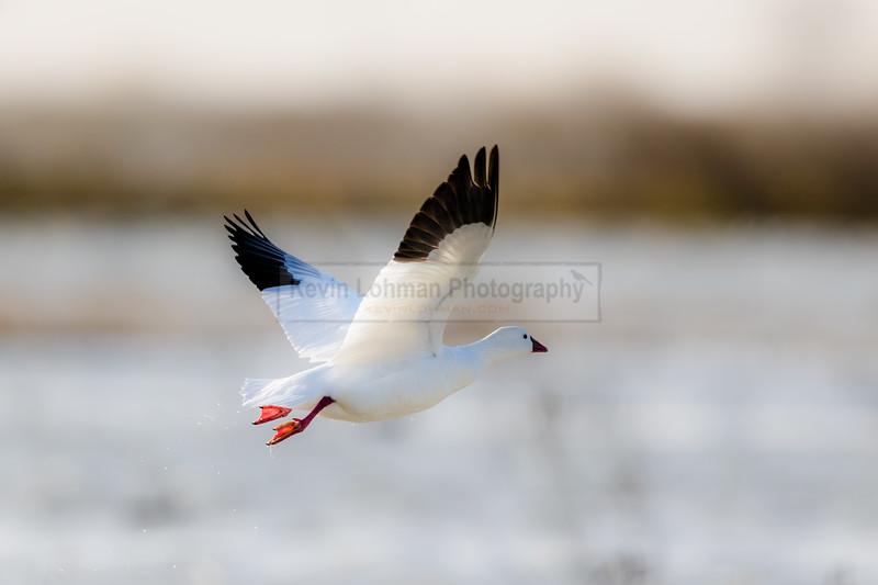 Snow Goose in flight