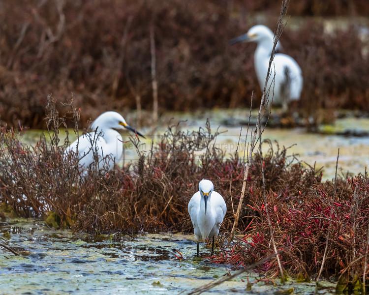 Three Snowy Egrets