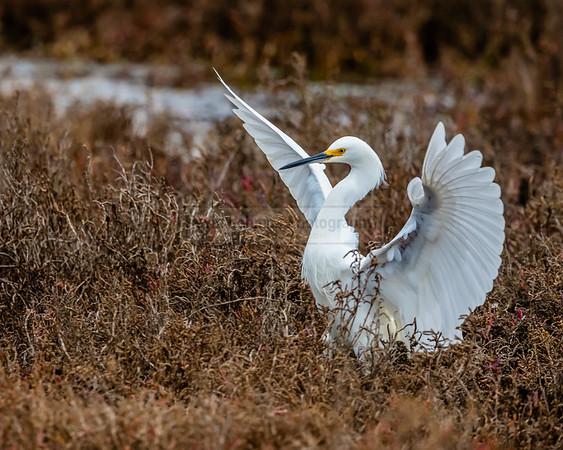 Snowy Egret Just Landed
