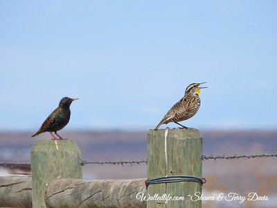 Meadowlark and starling