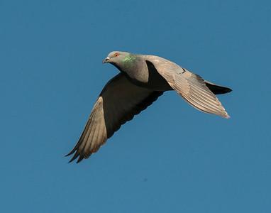 Rock Pigeon, White Rock Lake, TX