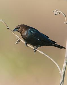 Brown Headed Cowbird, Hackberry Flats Wildlife Management Area, OK