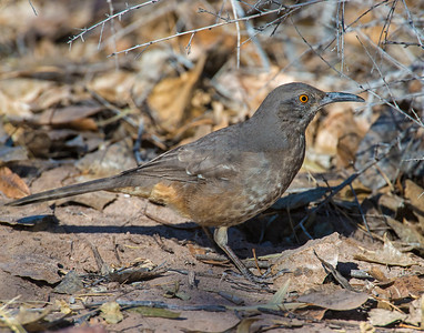 Curve-billed Thrasher, Bosque Del Apache National Wildlife Refuge, NM