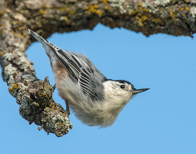 White Breasted Nuthatch, Wichita Mountains National Wildlife Refuge, OK