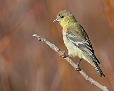 American Goldfinch (male), Bosque Del Apach national Wildlife Refuge, NM