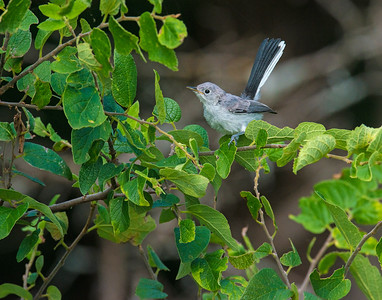Blue gray Gnatcatcher, Wichita Mountains Wildlife Refuge, OK