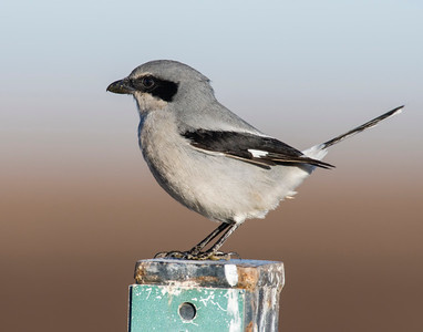 Loggerhead Shrike, Hackberry Flats Wildlife Management Area, OK