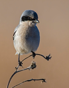 Loggerhead Shrike, Hackberry Flats Wildlife Management Area, OK