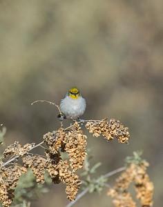 Verdin, Bosque Del Apache National Wildlife Refuge, NM