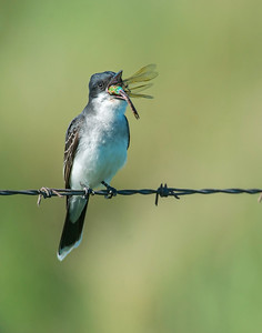Eastern Kingbird, Anahuac National Wildlife Refuge, TX