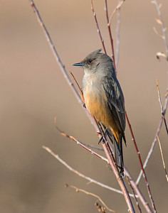 Say's Phoebe, Bosque Del Apache National Wildlife Refuge, NM