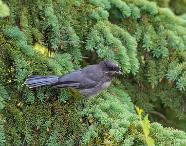 Gray Jay, Denali National Park, AK