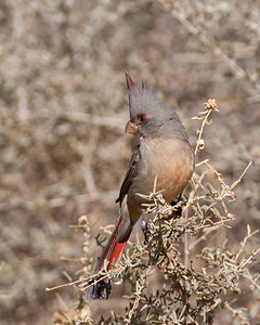 Pyrrhuloxia, Bosque Del Apache National Wildlife Refuge, NM.  This is a Female and the first one I've ever seen. They are very sought after by birdwatchers, notice the leg band.