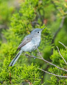 Blue-Gray Gnatcatcher, Wichita Mountains Wildlife