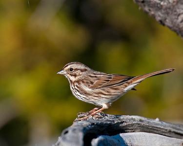 Song Sparrow (??), Wichita Mountains Wildlife refuge, OK