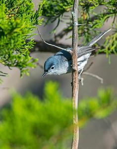 Blue-Gray Gnatcatcher, Wichita Mountains Wildlife Refuge, OK