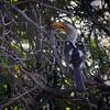 A Hornbill resting in a tree