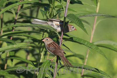 Field Sparrows