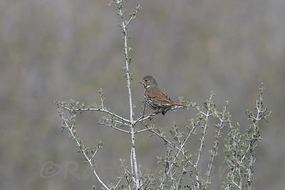 Fox Sparrow - Sooty